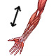 The muscles of the arm, actions