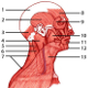 The muscles of the head and neck, locations
