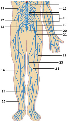 View of the nervous system, lower body
