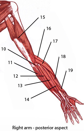 The muscles of the upper limb, posterior aspect