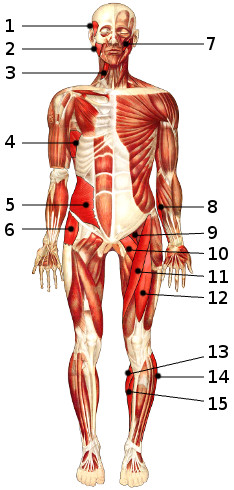The main muscles of the body, anterior 2