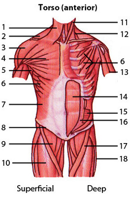 The muscles of the torso, anterior view