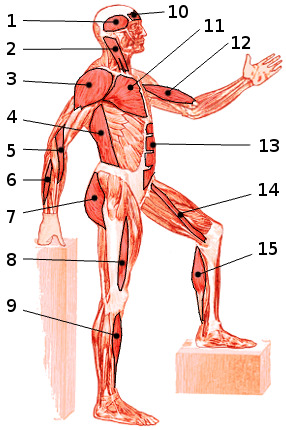The main muscles of the body, side view 1