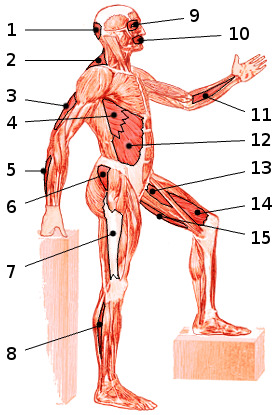 The main muscles of the body, side view 2